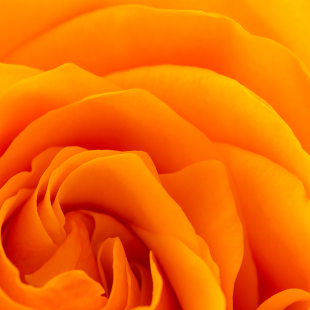 """Orange Rose"" stock image"
