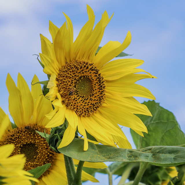 """Sunflower sunshine"" stock image"