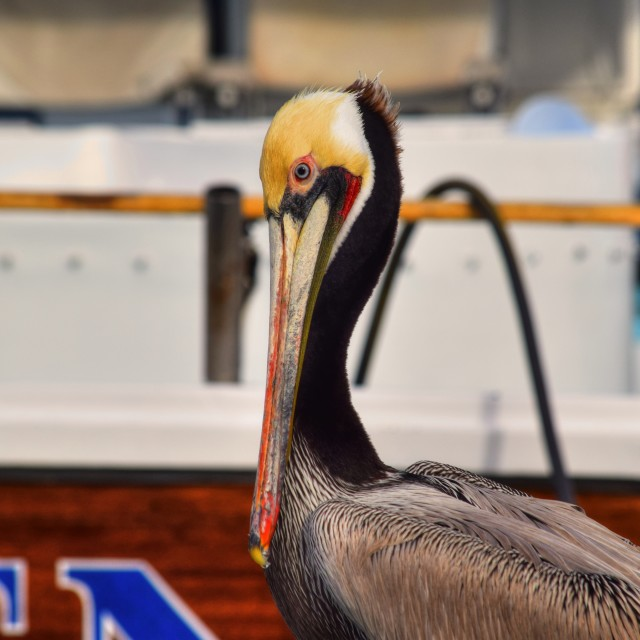 """Brown Pelican"" stock image"