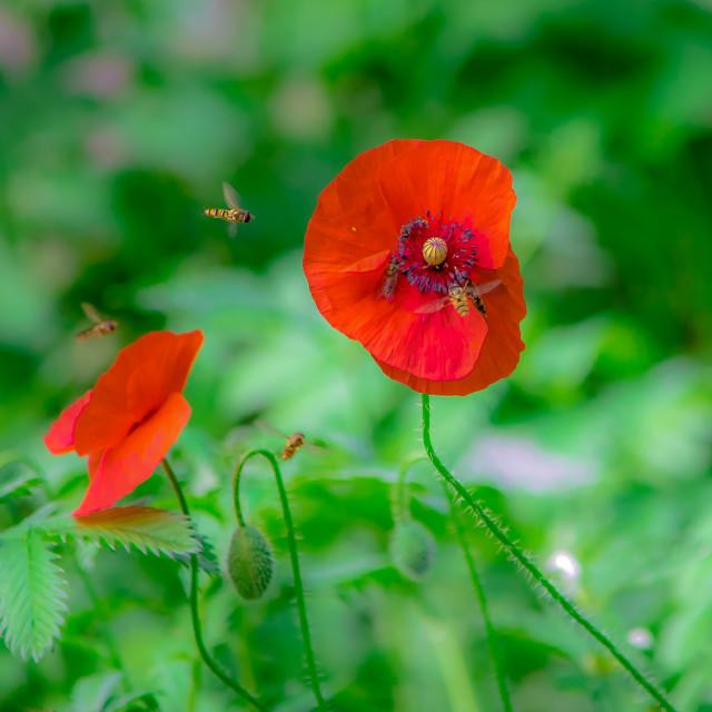 """""""wild poppys"""" stock image"""