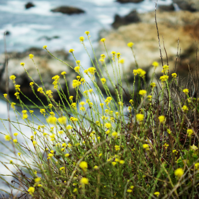 """Cliff top flowers, Pacific Coast"" stock image"