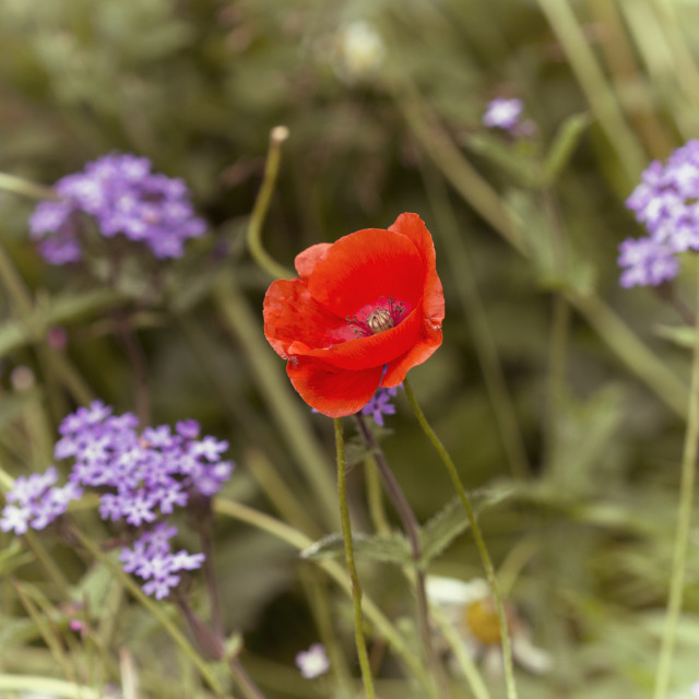 """Wild Poppy"" stock image"