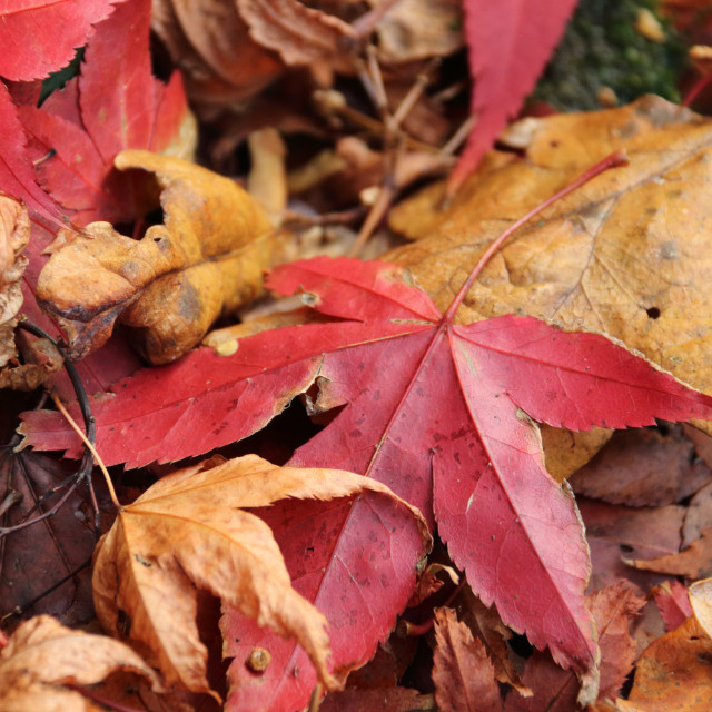 """Decaying Autumn leaves"" stock image"
