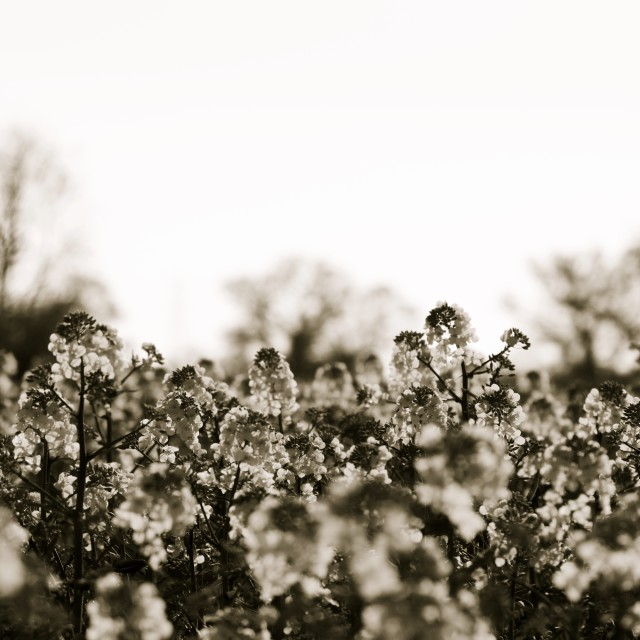 """Monochrome Rapeseed"" stock image"