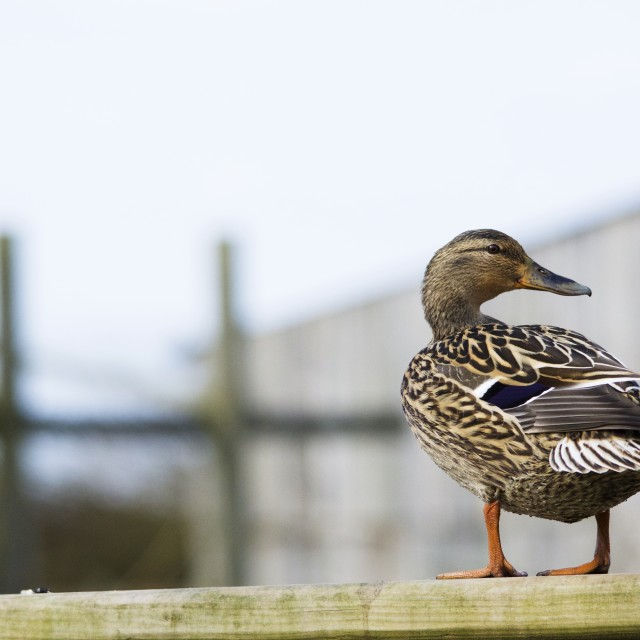 """Duck on a fence"" stock image"