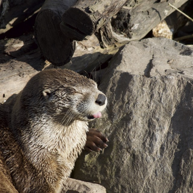 """American Otter"" stock image"