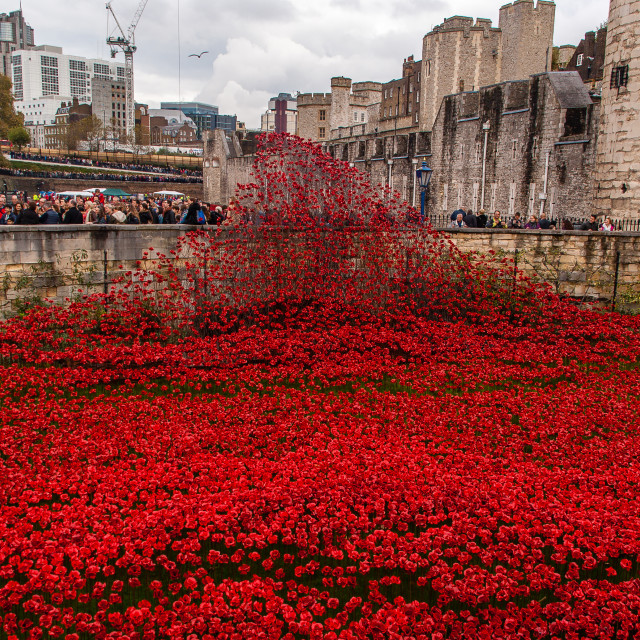 """Remembrance poppies"" stock image"