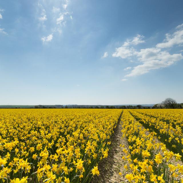 """Daffodil field"" stock image"