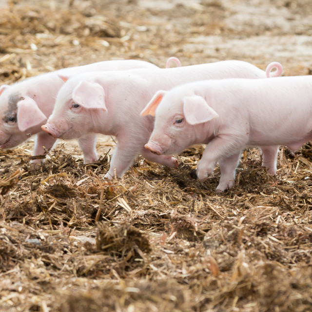 """3 little pigs"" stock image"