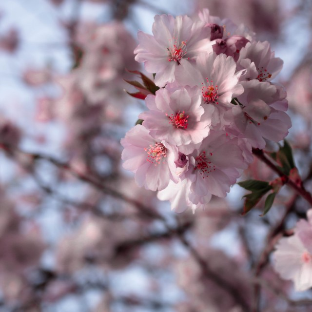 """Blossoming cherry makro"" stock image"