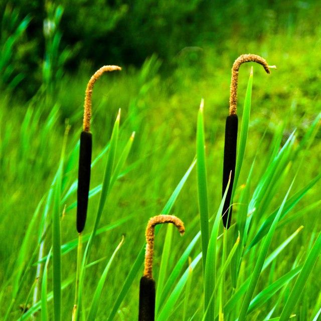 """Three reed plants shaped like walking sticks"" stock image"