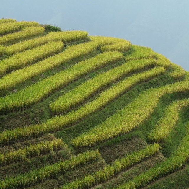 """China rice fields"" stock image"