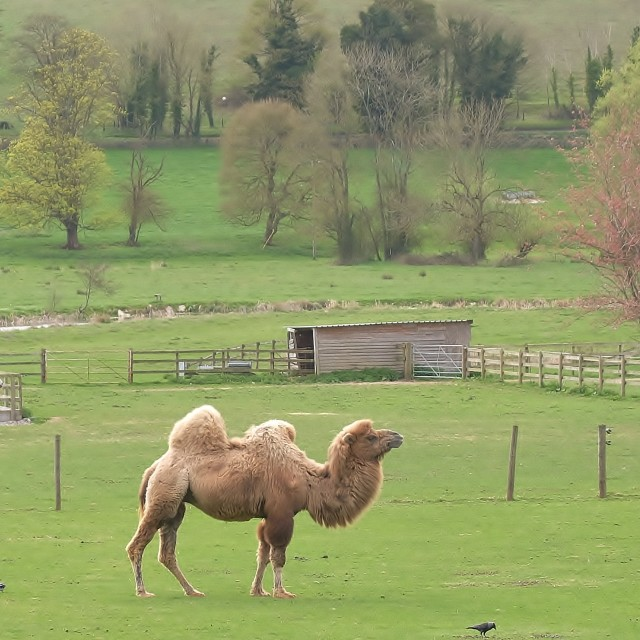 """Wiltshire Camel."" stock image"