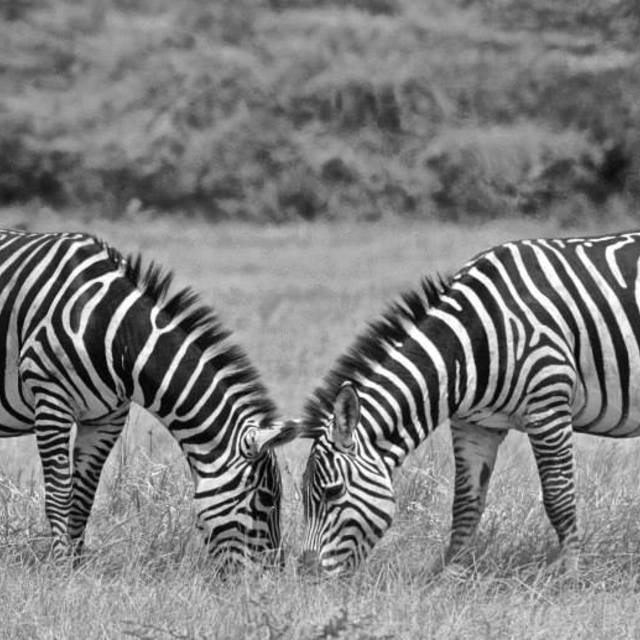"""""""Zebras"""" stock image"""