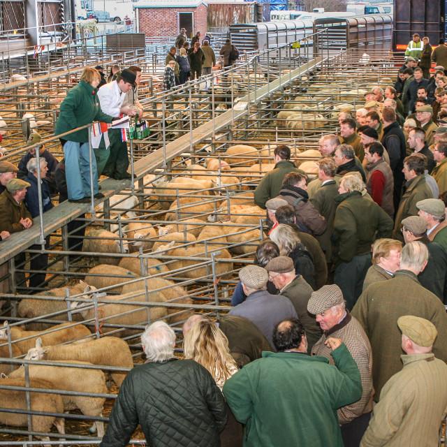 """Sheep Sale at Melton Market"" stock image"