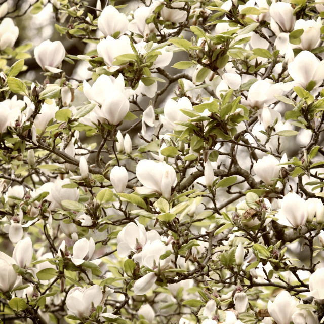"""Magnolia Tree"" stock image"