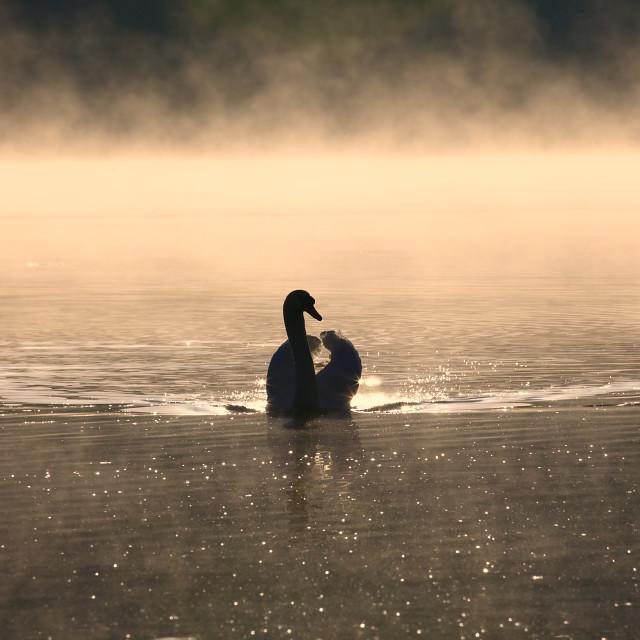 """""""Morning Swan"""" stock image"""