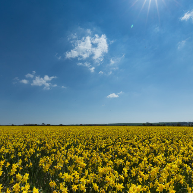 """Daffodils in the sun"" stock image"