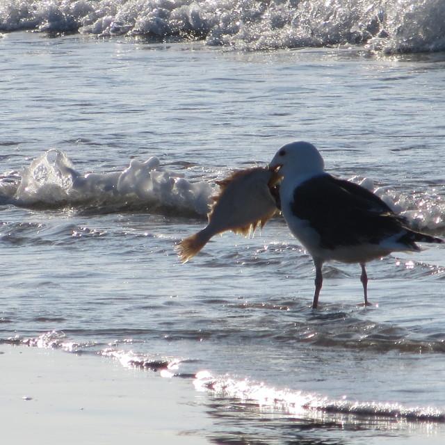 """""""Seagull fodda"""" stock image"""