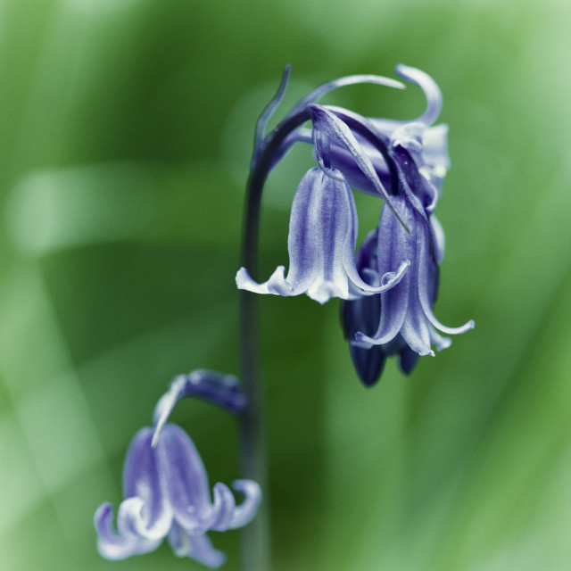 """Bluebells 2"" stock image"