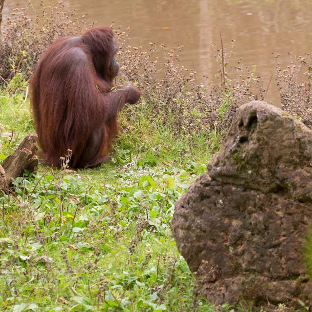 """Orang-utan sitting By a River"" stock image"