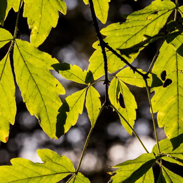 """""""Tree leaves"""" stock image"""