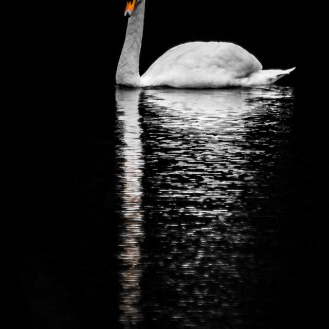 """""""Swan on lake"""" stock image"""