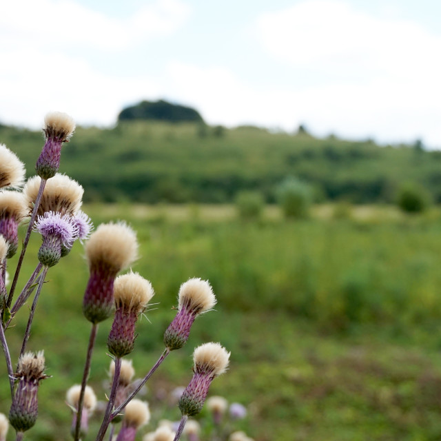 """Thistle"" stock image"