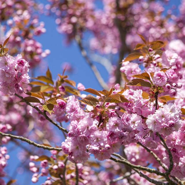 """Cherry Tree is abundant with blossom"" stock image"