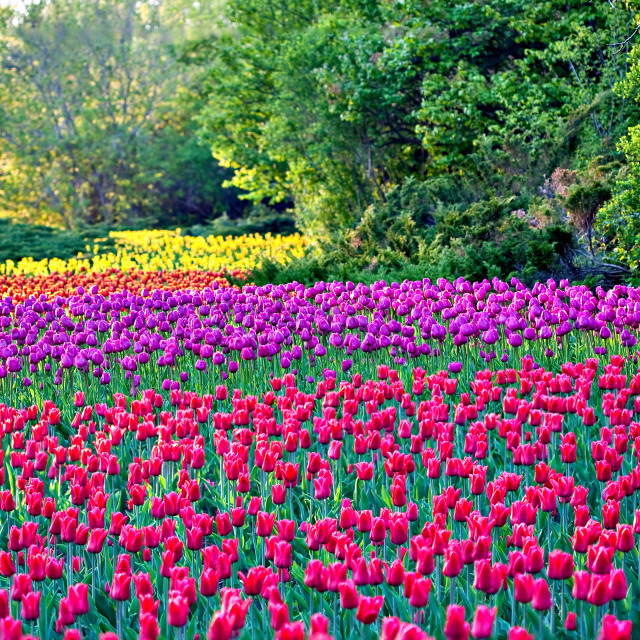 """A Rainbow of Tulips"" stock image"