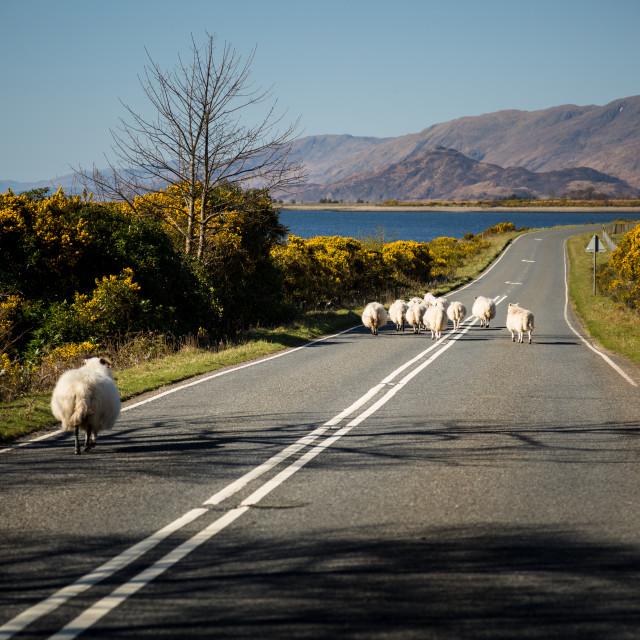 """""""Jaywalking Sheep"""" stock image"""