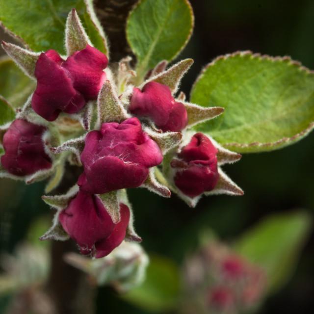 """""""Apple blossom still furled"""" stock image"""