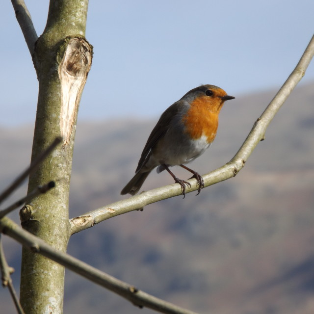 """""""Robin Red Breast"""" stock image"""