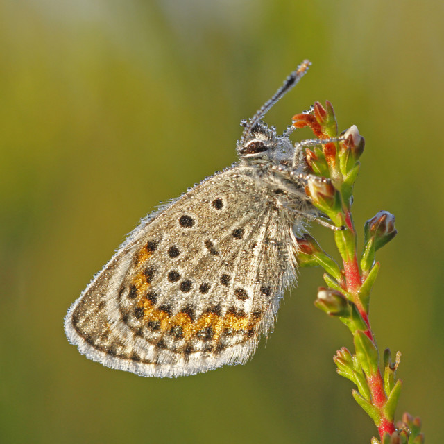 """Silver studded blue butterfly"" stock image"