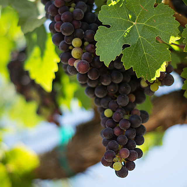 """""""Grapevines"""" stock image"""
