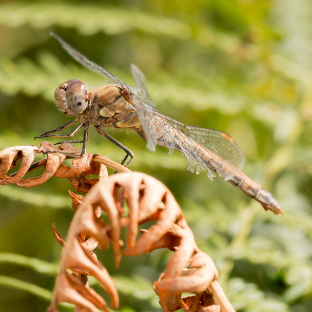 """Dragonfly at rest"" stock image"