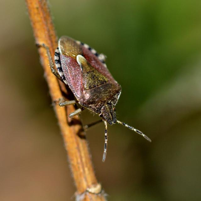 """""""shield bug"""" stock image"""
