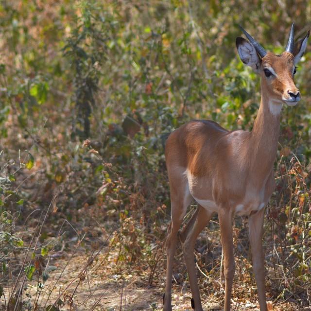 """Young Gazelle"" stock image"