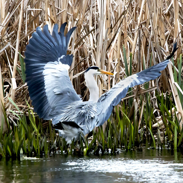"""Grey Heron In Reeds 1."" stock image"