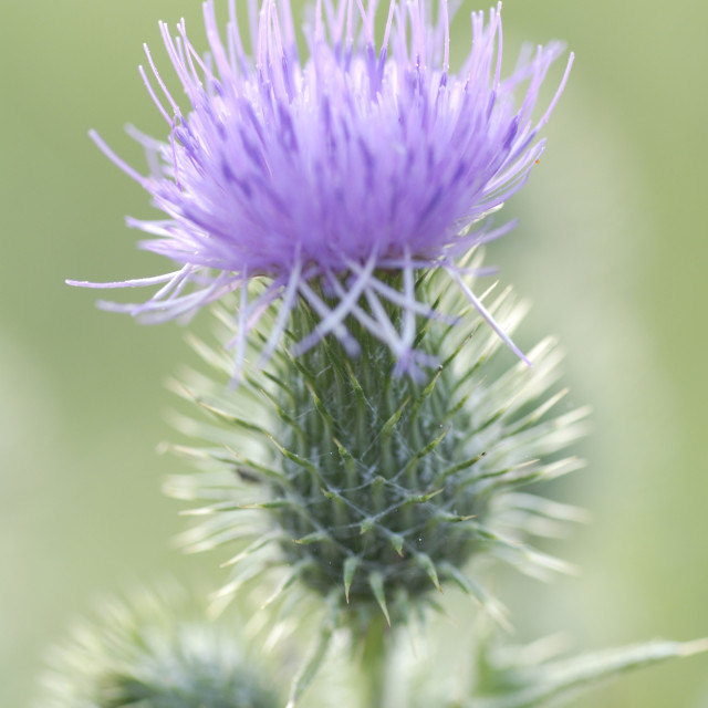"""Spear Thistle"" stock image"