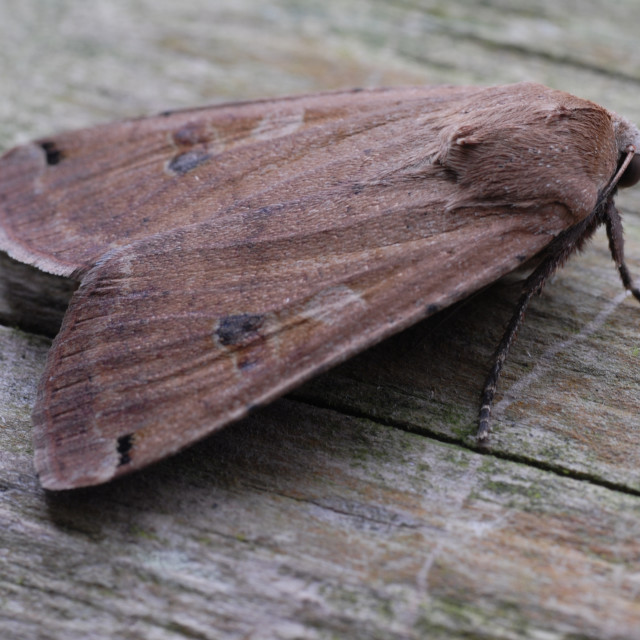 """Yellow underwing moth"" stock image"