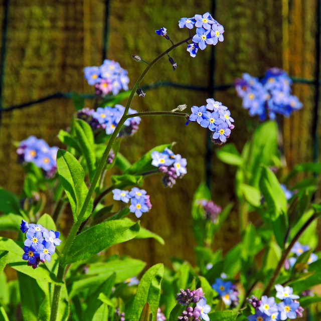 """""""Forget me not"""" stock image"""