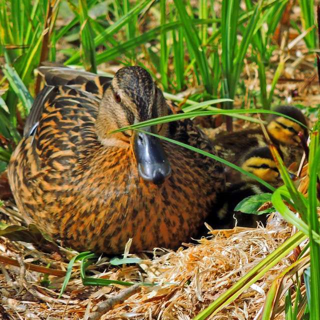 """""""Duck with two chicks"""" stock image"""