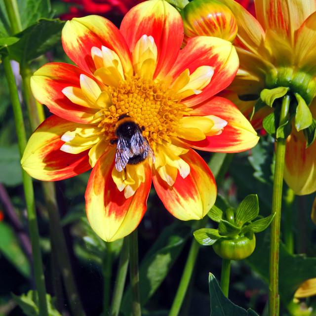 """Bee on a dahlia"" stock image"