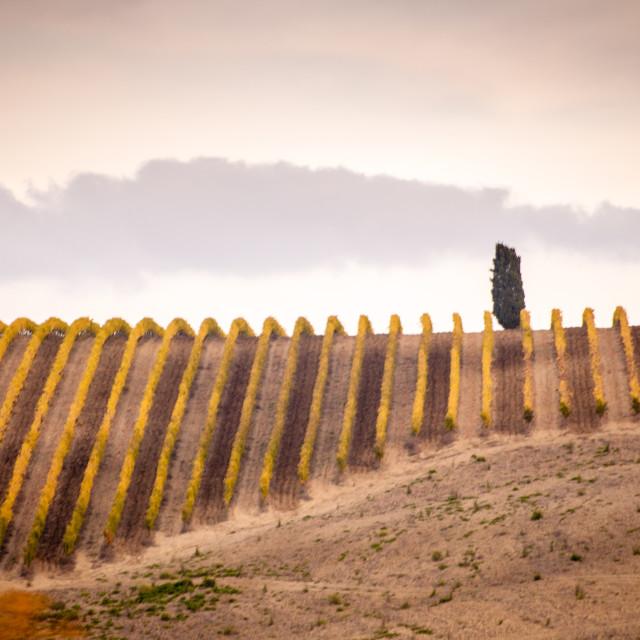 """""""Fall vineyard at down"""" stock image"""