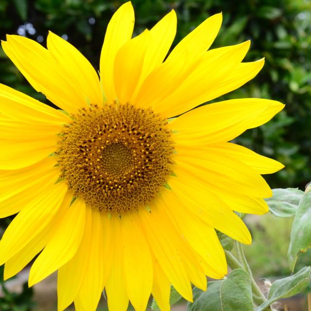 """""""Sunflower in Santa Barbara"""" stock image"""