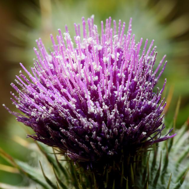 """Thistle pollen"" stock image"