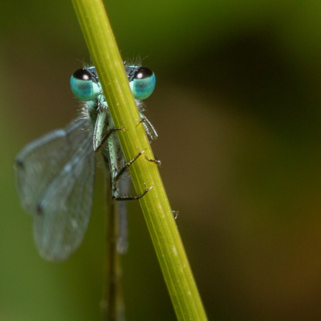 """Blue damsel eyes"" stock image"