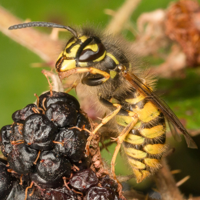 """Wasp on a blackberry"" stock image"