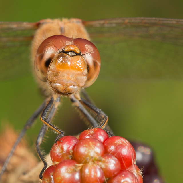 """Dragon fly head on"" stock image"